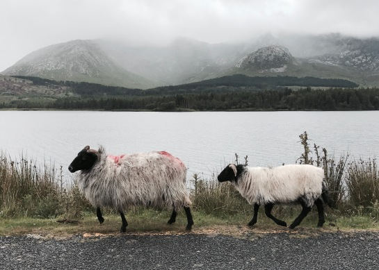 ireland sheep avanthard